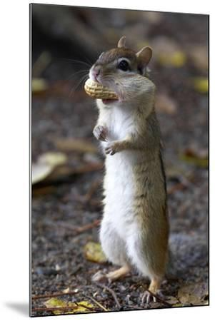 Eastern Chipmunk (Tamias Striatus) With Peanut In Mouth Pouch, Algonquin Provincial Park, Ontario-Ben Lascelles-Mounted Photographic Print