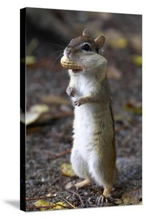 Eastern Chipmunk (Tamias Striatus) With Peanut In Mouth Pouch, Algonquin Provincial Park, Ontario-Ben Lascelles-Stretched Canvas Print