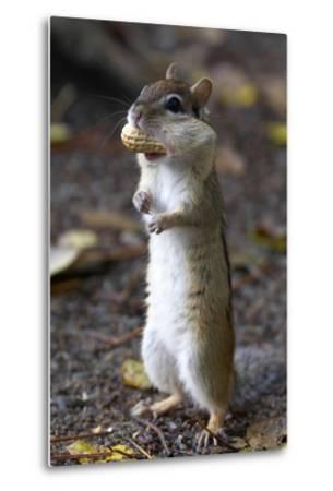 Eastern Chipmunk (Tamias Striatus) With Peanut In Mouth Pouch, Algonquin Provincial Park, Ontario-Ben Lascelles-Metal Print