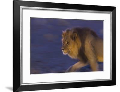 Male African Lion (Panthera Leo) At Night, Kalahari Desert, Botswana-Juan Carlos Munoz-Framed Photographic Print