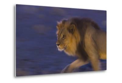 Male African Lion (Panthera Leo) At Night, Kalahari Desert, Botswana-Juan Carlos Munoz-Metal Print