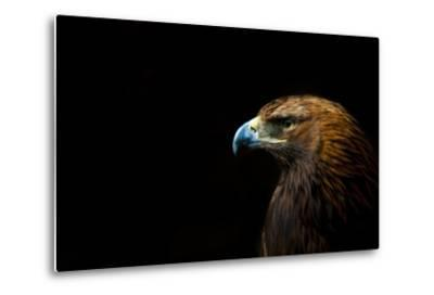 Golden Eagle (Aquila Chrysaetos) Portrait, Captive, Occurs In The Northern Hemisphere-Edwin Giesbers-Metal Print