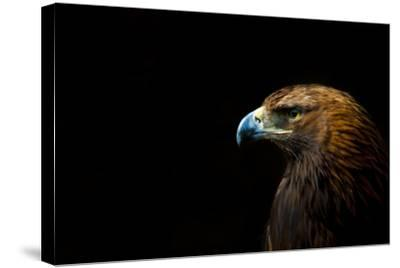 Golden Eagle (Aquila Chrysaetos) Portrait, Captive, Occurs In The Northern Hemisphere-Edwin Giesbers-Stretched Canvas Print