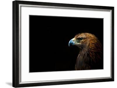 Golden Eagle (Aquila Chrysaetos) Portrait, Captive, Occurs In The Northern Hemisphere-Edwin Giesbers-Framed Photographic Print