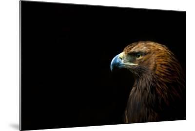 Golden Eagle (Aquila Chrysaetos) Portrait, Captive, Occurs In The Northern Hemisphere-Edwin Giesbers-Mounted Photographic Print