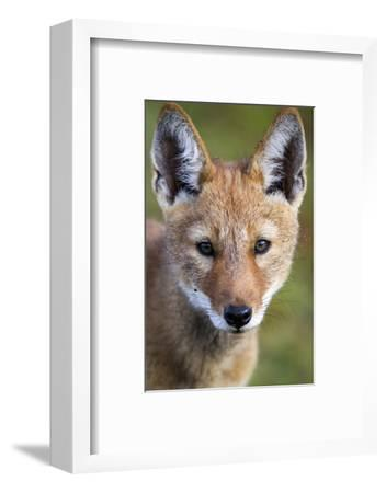 Ethiopian Wolf (Canis Simensis) Portrait Of Pup, Bale Mountains National Park, Ethiopia-Will Burrard-Lucas-Framed Photographic Print