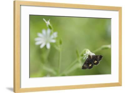 Small Yellow Underwing Moth (Panemeria Tenebrata) On Stitchwort (Stellaria) South Karelia-Jussi Murtosaari-Framed Photographic Print