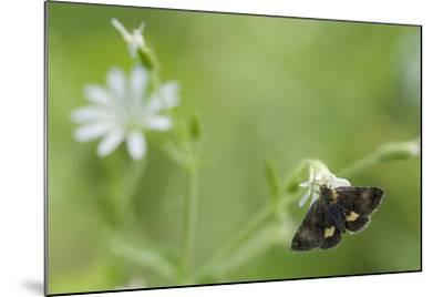Small Yellow Underwing Moth (Panemeria Tenebrata) On Stitchwort (Stellaria) South Karelia-Jussi Murtosaari-Mounted Photographic Print
