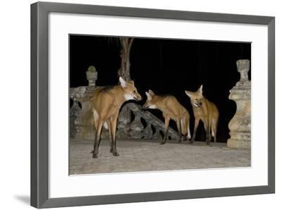 Maned Wolves (Chrysocyon Brachyurus) At Santurio Do Caraca, Where They Are Fed, At Night-Angelo Gandolfi-Framed Photographic Print