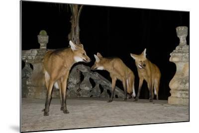 Maned Wolves (Chrysocyon Brachyurus) At Santurio Do Caraca, Where They Are Fed, At Night-Angelo Gandolfi-Mounted Photographic Print
