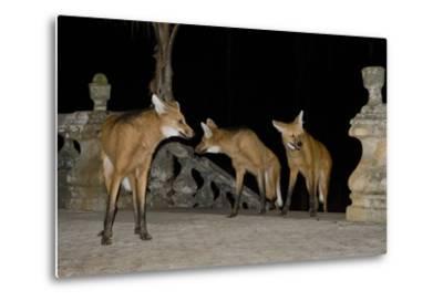Maned Wolves (Chrysocyon Brachyurus) At Santurio Do Caraca, Where They Are Fed, At Night-Angelo Gandolfi-Metal Print