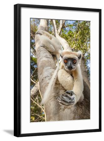 Golden-Crowned Sifaka Or Tattersall'S Sifaka (Propithecus Tattersalli) Climbing Down Tree-Nick Garbutt-Framed Photographic Print