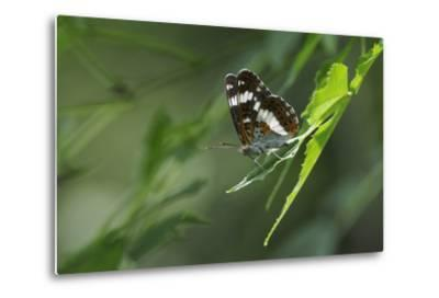 Male White Admiral Butterfly (Limenitis Camilla) Standing On Sunlit Leaves-Nick Upton-Metal Print