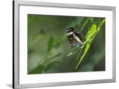 Male White Admiral Butterfly (Limenitis Camilla) Standing On Sunlit Leaves-Nick Upton-Framed Photographic Print