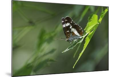 Male White Admiral Butterfly (Limenitis Camilla) Standing On Sunlit Leaves-Nick Upton-Mounted Photographic Print