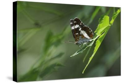 Male White Admiral Butterfly (Limenitis Camilla) Standing On Sunlit Leaves-Nick Upton-Stretched Canvas Print