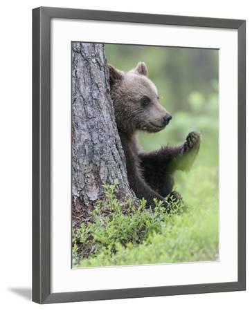 European Brown Bear (Ursus Arctos Arctos) Young Cub, Northern Finland, July-Jussi Murtosaari-Framed Photographic Print