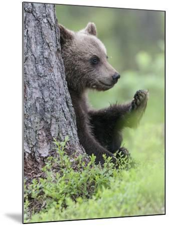European Brown Bear (Ursus Arctos Arctos) Young Cub, Northern Finland, July-Jussi Murtosaari-Mounted Photographic Print