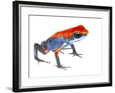 Strawberry Poison Frog (Oophaga Pumilio) Escudo De Veraguas, Panama. Meetyourneighbours.Net Project-Jp Lawrence-Framed Photographic Print