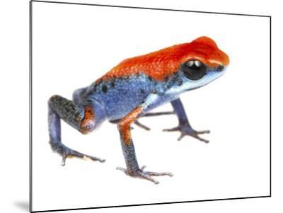 Strawberry Poison Frog (Oophaga Pumilio) Escudo De Veraguas, Panama. Meetyourneighbours.Net Project-Jp Lawrence-Mounted Photographic Print