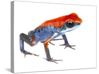 Strawberry Poison Frog (Oophaga Pumilio) Escudo De Veraguas, Panama. Meetyourneighbours.Net Project-Jp Lawrence-Stretched Canvas Print