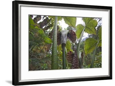 Jack In The Pulpits (Arisaema Utile) Makalu Mountain-Dong Lei-Framed Photographic Print