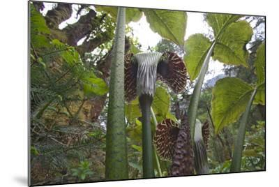 Jack In The Pulpits (Arisaema Utile) Makalu Mountain-Dong Lei-Mounted Photographic Print