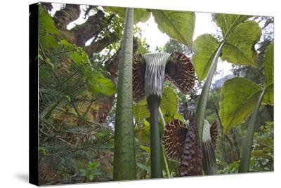 Jack In The Pulpits (Arisaema Utile) Makalu Mountain-Dong Lei-Stretched Canvas Print