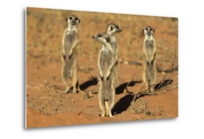 Meerkats (Suricata Suricatta) Standing Alert, Kgalagadi Transfrontier Park, Northern Cape-Ann & Steve Toon-Metal Print