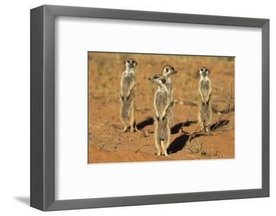 Meerkats (Suricata Suricatta) Standing Alert, Kgalagadi Transfrontier Park, Northern Cape-Ann & Steve Toon-Framed Photographic Print