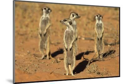 Meerkats (Suricata Suricatta) Standing Alert, Kgalagadi Transfrontier Park, Northern Cape-Ann & Steve Toon-Mounted Photographic Print