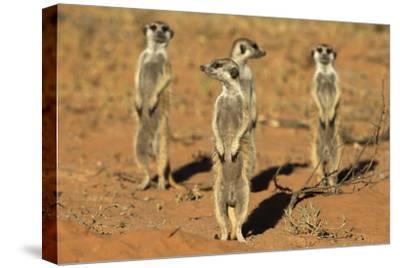 Meerkats (Suricata Suricatta) Standing Alert, Kgalagadi Transfrontier Park, Northern Cape-Ann & Steve Toon-Stretched Canvas Print
