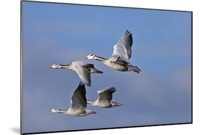 Bar Headed Geese (Anser Indicus) Group Of Four In Flight Above The Lashihai Lake-Dong Lei-Mounted Premium Photographic Print