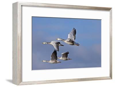 Bar Headed Geese (Anser Indicus) Group Of Four In Flight Above The Lashihai Lake-Dong Lei-Framed Premium Photographic Print