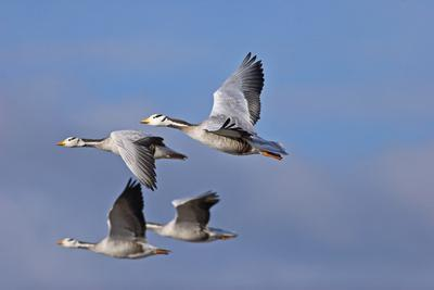 Bar Headed Geese (Anser Indicus) Group Of Four In Flight Above The Lashihai Lake-Dong Lei-Photographic Print