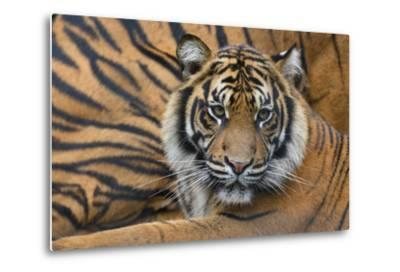 Sumatran Tiger (Panthera Tigris Sumatrae), Captive, Occurs In Sumatra, Indonesia-Edwin Giesbers-Metal Print