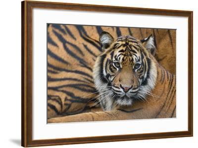 Sumatran Tiger (Panthera Tigris Sumatrae), Captive, Occurs In Sumatra, Indonesia-Edwin Giesbers-Framed Photographic Print