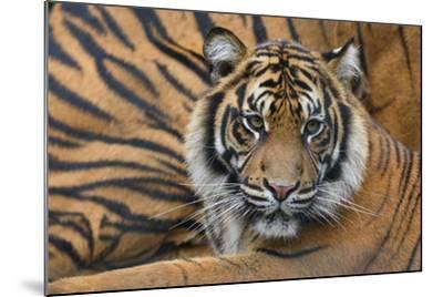 Sumatran Tiger (Panthera Tigris Sumatrae), Captive, Occurs In Sumatra, Indonesia-Edwin Giesbers-Mounted Photographic Print