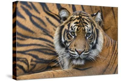Sumatran Tiger (Panthera Tigris Sumatrae), Captive, Occurs In Sumatra, Indonesia-Edwin Giesbers-Stretched Canvas Print