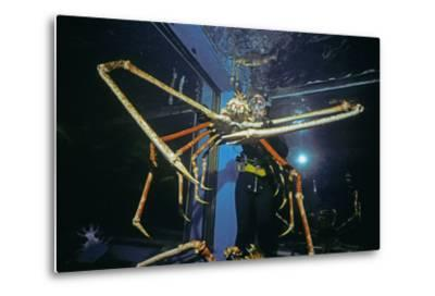 Japanese Giant Spider Crab (Macrocheira Kaempferi) World'S Largest Crustacean In Tokyo Aquarium-Jeff Rotman-Metal Print