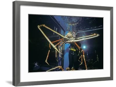 Japanese Giant Spider Crab (Macrocheira Kaempferi) World'S Largest Crustacean In Tokyo Aquarium-Jeff Rotman-Framed Photographic Print