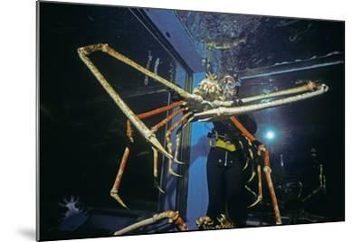 Japanese Giant Spider Crab (Macrocheira Kaempferi) World'S Largest Crustacean In Tokyo Aquarium-Jeff Rotman-Mounted Photographic Print