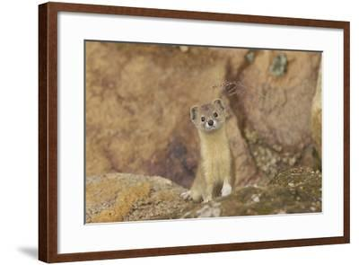 Mountain Weasel (Mustela Altaica) Lhasa City, Qinghai-Tibet Plateau, Tibet, China, Asia-Dong Lei-Framed Photographic Print