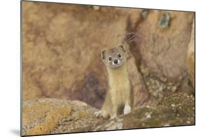 Mountain Weasel (Mustela Altaica) Lhasa City, Qinghai-Tibet Plateau, Tibet, China, Asia-Dong Lei-Mounted Photographic Print