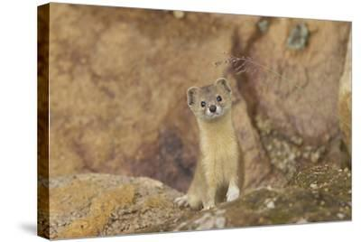 Mountain Weasel (Mustela Altaica) Lhasa City, Qinghai-Tibet Plateau, Tibet, China, Asia-Dong Lei-Stretched Canvas Print