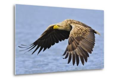 White-Tailed Sea Eagle (Haliaeetus Albicilla) In Flight. Flatanger, Norway, May-Andy Trowbridge-Metal Print
