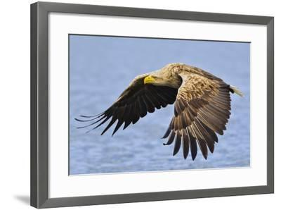 White-Tailed Sea Eagle (Haliaeetus Albicilla) In Flight. Flatanger, Norway, May-Andy Trowbridge-Framed Photographic Print