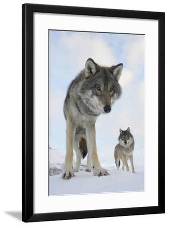 Wide Angle Close-Up Of Two European Grey Wolves (Canis Lupus), Captive, Norway, February-Edwin Giesbers-Framed Photographic Print