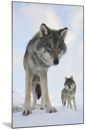 Wide Angle Close-Up Of Two European Grey Wolves (Canis Lupus), Captive, Norway, February-Edwin Giesbers-Mounted Photographic Print