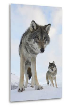 Wide Angle Close-Up Of Two European Grey Wolves (Canis Lupus), Captive, Norway, February-Edwin Giesbers-Metal Print